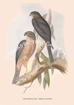 Collared Sparrow Hawk - Accipiter Cirrocephalus
